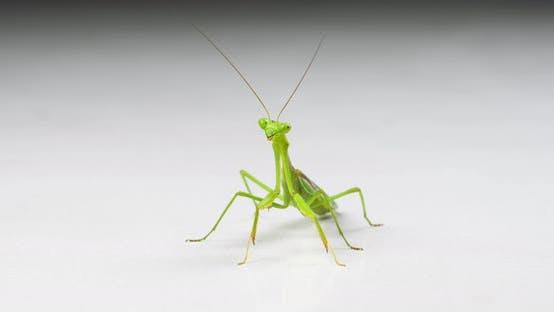 Thumbnail for Macro Praying Mantis On White