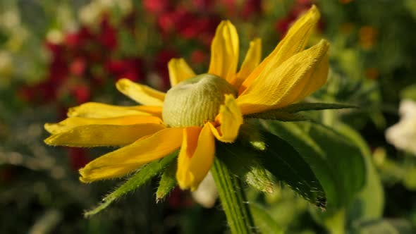 Thumbnail for Beautiful Rudbeckia hirta Irish eyes also known as  Irish Spring flower in the garden 4K 3840X2160 U