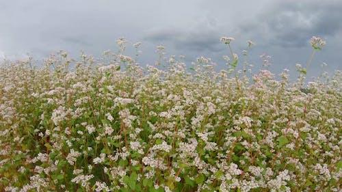 Field of flowering buckwheat