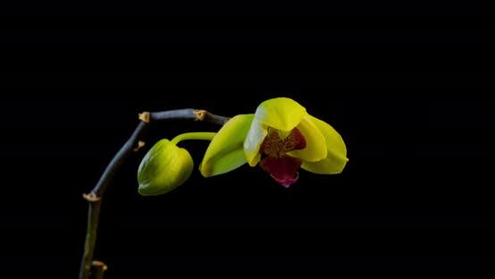 Thumbnail for Yellow Orchid Time Lapse