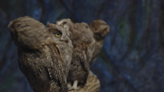 Thumbnail for Wildlife, Small Baby Owls Are Sitting on a Branch, Cute Birds,