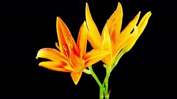 Thumbnail for Zeitraffer von Orangenlilienblüten