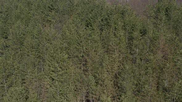 Thumbnail for European silver fir Abies alba woods from above 4K drone video