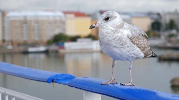 Thumbnail for Seagull Sitting on Ship Railing