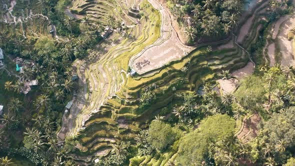 Tegallalang Rice Terraces Aerial Footage in Ubud, Bali, Indonesia