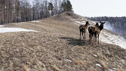 A Female Maral with Foals Walking on a Mountain Range