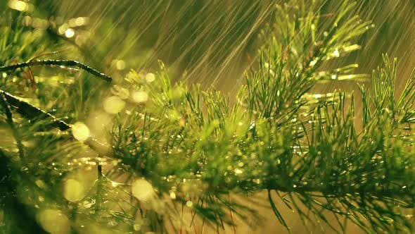 Thumbnail for Fir Branch and Rain Drops