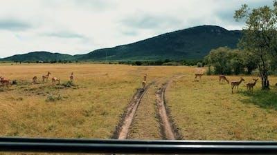 Safari Gazelles in African