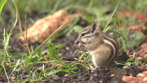 Least Chipmunk Lone Alarmed Spooked Frightened Startled in Summer