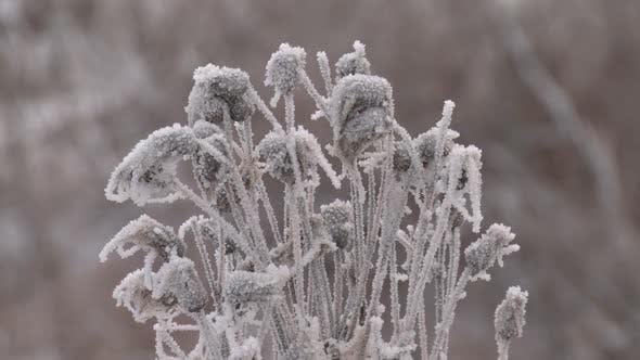 Thumbnail for Die Pflanze ist im Winter mit Eis bedeckt