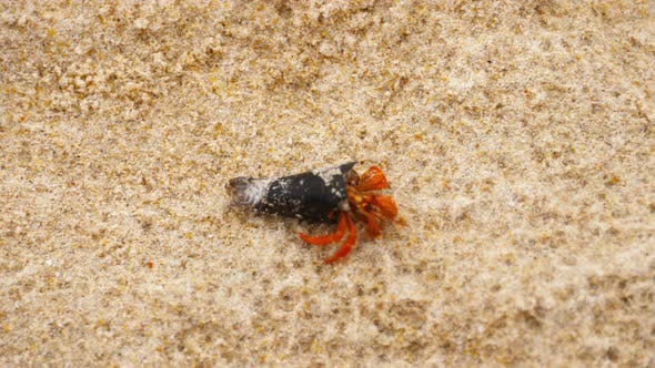 Cover Image for Tiny Hermit Crab on Beach