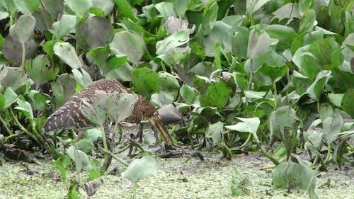 Rufescent Tiger Heron Immature Lone Predation Kill Capture Carrying Shaking