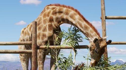 Giraffe Eating Grass in a Zoo