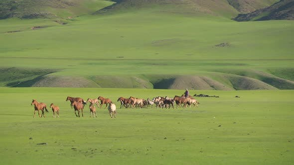 Thumbnail for Farmers Trying to Catch Free Wild Horses on the Plain
