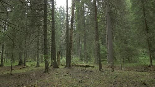 An Evergreen Forest in The Mountains