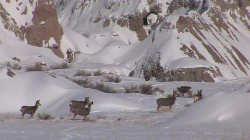 Mule Deer Doe Female Adult Immature Herd Many Standing Walking in Winter