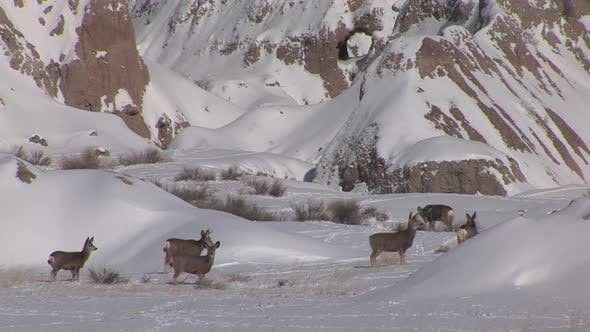 Cover Image for Mule Deer Doe Female Adult Immature Herd Many Standing Walking in Winter