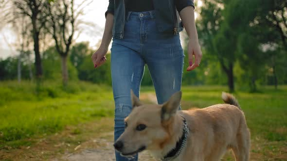 Thumbnail for The Dog with No Leash Is Walking Next To Female's Legs in Jeans.