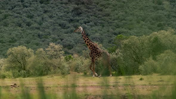 Thumbnail for Giraffe at South Africa