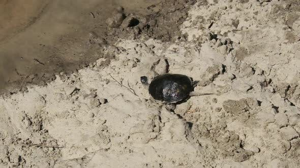 Thumbnail for Turtle Crawling on Sand To Water and Dives Into the River.. Slow Motion 240 Fps