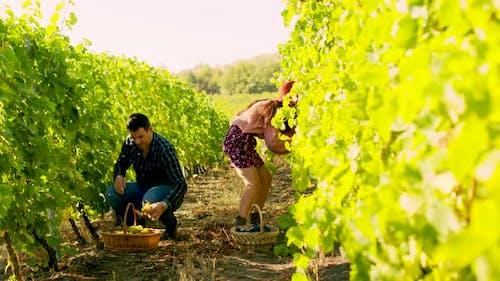 Couple in Vineyard Harvesting Grapes