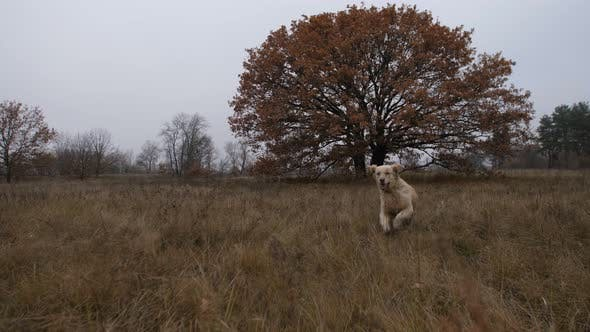 Thumbnail for Labrador Retriever Running Through Autumn Field