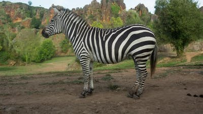 Zebra in the Safari