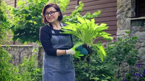 Woman Gardener with Decorative Plant Hosta for Dividing and Planting