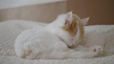 Beautiful Fluffy Cat Is Brushing Hair on Bed in Room, a Satisfied Pet Is Washed on Sofa