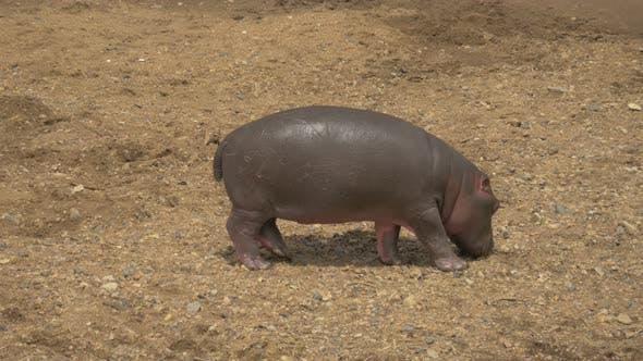 Thumbnail for A hippo calf