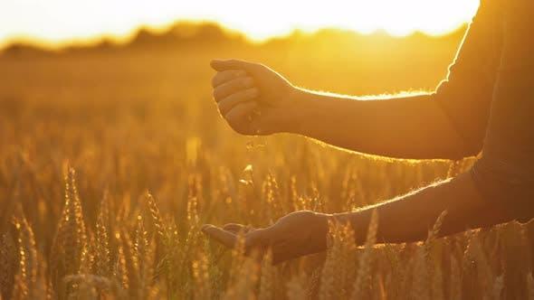 Ripe grains in man's hands against setting sun