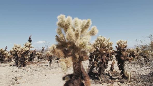 Thumbnail for Joshua Tree Cactus