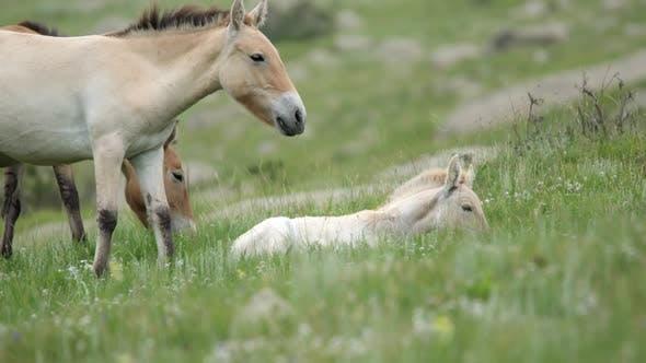 Wild Przewalski Albino White Foal Horse