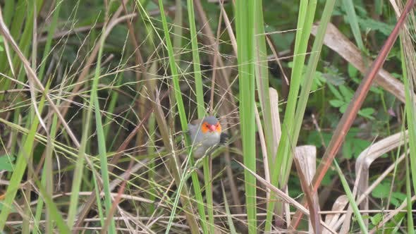 Thumbnail for Orange-cheeked waxbill eating seeds from a plant