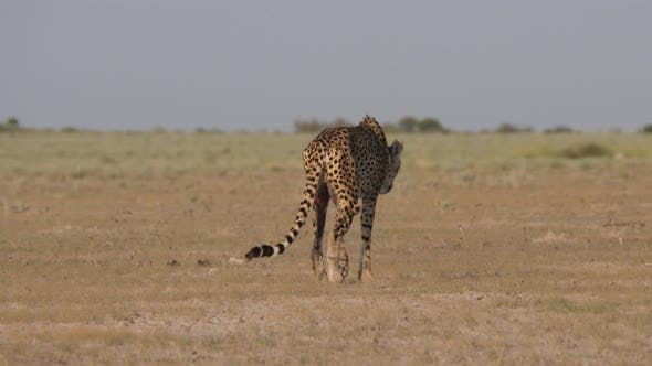 Thumbnail for Wounded cheetah walking slowly on the savanna