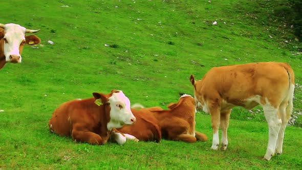 Thumbnail for Cattle on the High Mountain Pasture