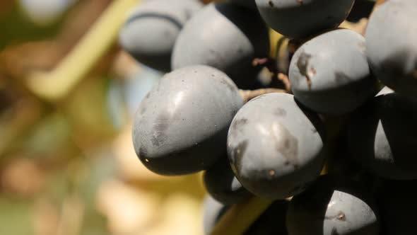 Vitis vinifera fruit culture  and golden leaves food slow tilt 2160p 30fps UltraHD footage - Grape f