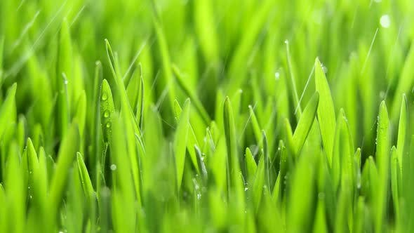 Fresh Green Grass with Rain Drops Field of Young Wheat Rye Closeup Nature Macro