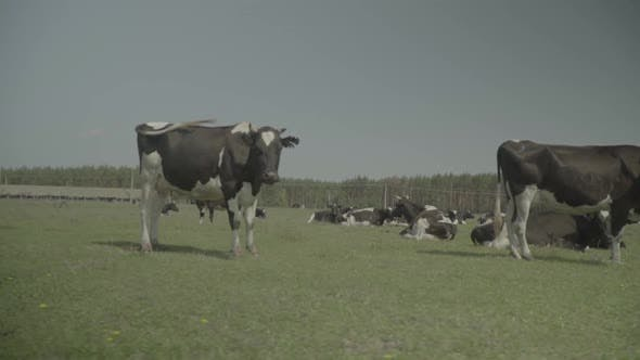 Thumbnail for Cow. Cows in a Pasture on a Farm. Slow Motion