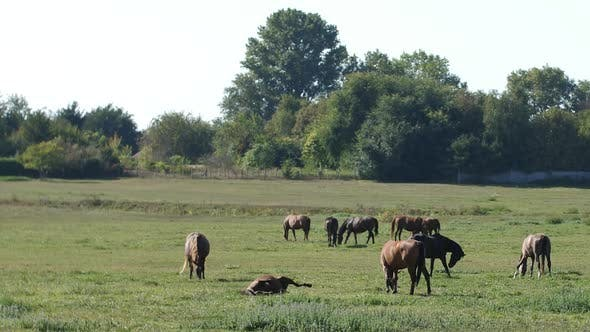 Thumbnail for Grazing Horses
