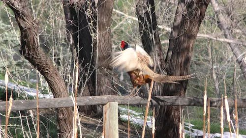 Ring-necked Pheasant Male Calling Crowing Cackling in Spring on Fence Rail in Slow Motion