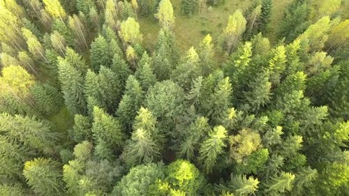Aerial view of green pine forest with canopies of spruce trees in summer mountains