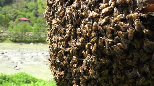 Thumbnail for Bee Swarm On Tree Branch