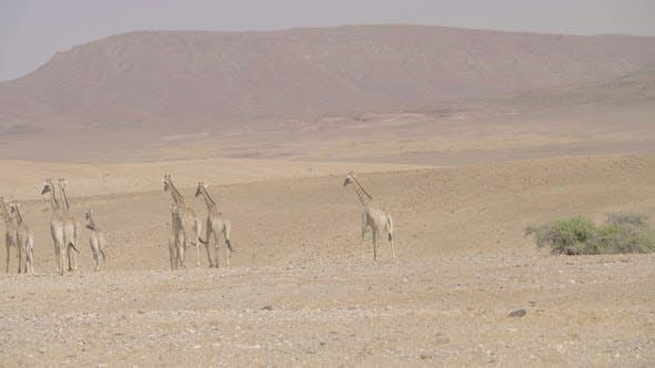 Thumbnail for Desert Giraffes Walking Through Desert