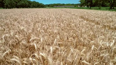 Tracking aerial shot of wheat agriculture.