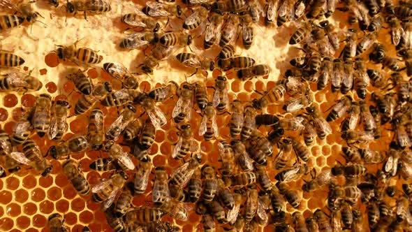 Cover Image for Honey Bees
