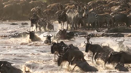 Great Migration Chaotic River Crossing