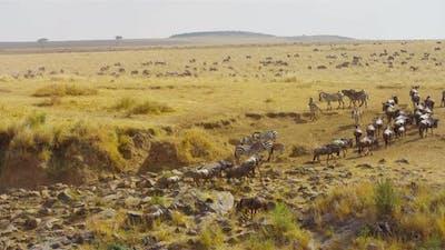 Zebras and gnus in the safari