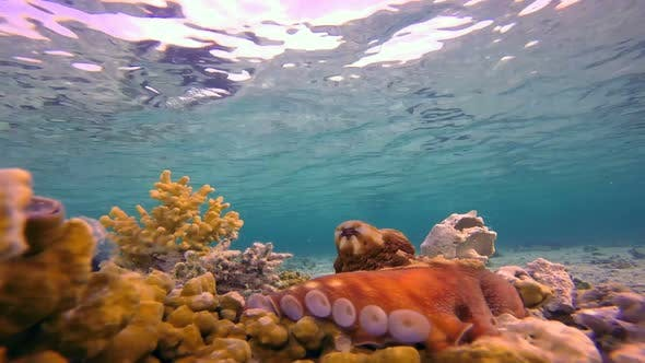Thumbnail for Underwater Big Red Octopus with Blue water