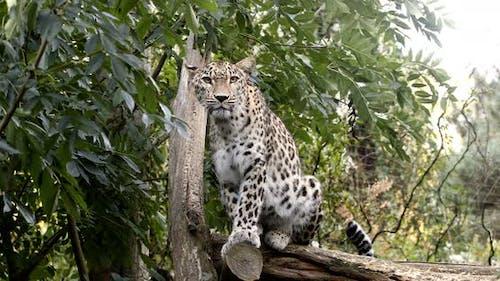 ceylon Sri Lankan leopard, (Panthera pardus kotiya)